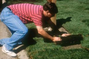 Turfgrass sod installation (9)